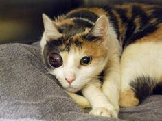 STILL AVAILABLE 7/30/16 ~ PLEASE someone ADOPT this poor girl!!! ~ SUZIE - ID#A1081950 Needs eye removed. I am a 5-yr old unaltered female, calico Domestic Shorthair mix. I weigh 11 pounds. I was found in NY 10460. I have been at the shelter since Jul 20, 2016. www.PetHarbor.com pet:NWYK.A1081950