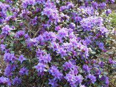 North Devon, Flowering Shrubs, Plants, Flowering Bushes, Plant, Planets