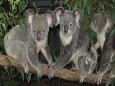 Tres koalas en la misma rama
