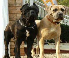 Nero and Cassie Cane Corso Italianos are standing next to a houst with bricks and a bush in the background