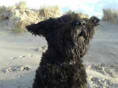 Bouvier des Flandres| Picture from our photo contest with the theme: Cute | www.bouvierclub.nl