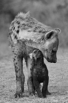 Hyena mom and cub..B/W