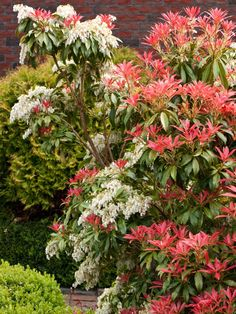 'Forest Flame' - Pieris japonica 'Forest Flame'