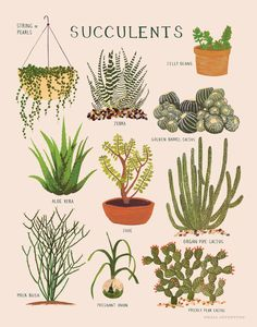 Nature Composting Impression de plantes grasses - ∆ print of various succulent plants ∆ Printed on soft white, cotton paper ∆ Illustrated in gouache by Keiko Brodeur ∆ Printed in the USA Cacti And Succulents, Planting Succulents, Planting Flowers, Types Of Succulents, Illustration Botanique, Botanical Illustration, Golden Barrel Cactus, Cactus Plante, Plants Are Friends