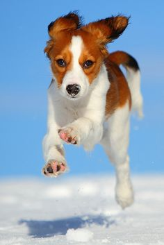 Rare Breed | Kooikerhondje, Flying Dutchman | Flickr - Photo Sharing | The Kooikerhondje is a small spaniel of Dutch ancestry that was originally used as a duck tolling dog. Described as intelligent, good natured, and quiet, the breed adapts to situations rather quickly. They will not always immediately like strangers, instead choosing to retreat. The life expectancy of the breed is about 12-14 years. This breed is gaining popularity in the United States.
