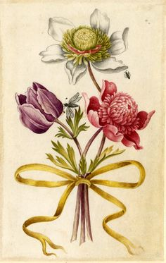Drawing from an album, white and yellow, purple, and red Anemones, tied with yellow ribbon Watercolour over metalpoint, shaded with grey wash, on vellum by Alexander Marshal.  © The Trustees of the British Museum