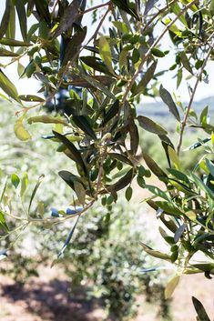 olive trees food photography in travel Fish Marinade, Olive Press, Green Fruit, Olive Oil, Farmer, Harvest, Grass, Travel Photography, Journey
