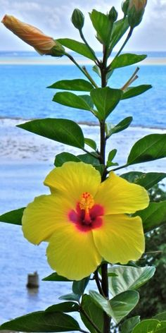 Tropical Hibiscus - Yellow Wing is a profuse and reliable bloomer. The flowers are showy, medium sized classic hibiscus singles in bright golden, slightly orange toned yellow with a striking red eye.