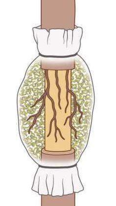 Cut away cambium layer. Open when roots are well developed and visible through plastic. Garden Deco, Veg Garden, Fruit Garden, Garden Trees, Lawn And Garden, Planting Vegetables, Growing Vegetables, Grafting Plants, House Plants Decor