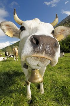 If you are gonna take a picture of a cow. This is how good it should be. Otherwise don't bother! :-) Great photo of Marco Barone!
