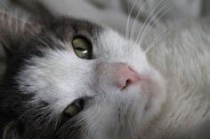 A verdade do porquê os gatos ronronam