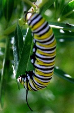 How to plant milkweed for Monarchs