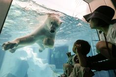 A polar bear looks at a little boy as it swims at Ueno Zoo in Tokyo