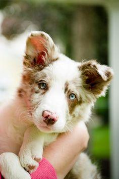 Red Merle Border Collie Puppy - 3 months old