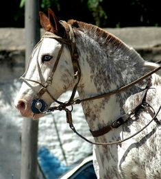 Beautiful strong horse, but his bridle, bit, nose piece does not look very comfortable. overo frame sabino