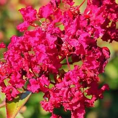 Obtain a brilliant and bright addition to your landscape area by choosing this excellent Mea Nursery Emerald Empire Ruby Prince Deciduous Crape Myrtle Tree. Lavender Flowers, Red Flowers, Bright Flowers, Wind Break, Myrtle Tree, Lagerstroemia, Summer Plants, Black Leaves, Perfect Plants