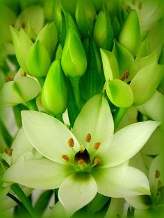 Star of Bethlehem (by scilit)