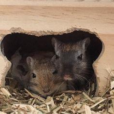 Good morning girls  #rennmäuse #wüstenrennmäuse #rennmaus #maus #gerbil #pet #rodent #hamster #mouse #cute #instapet #pets_of_instagram #mykidshavefourlegs #furryfriend