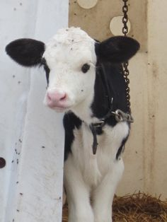 Young calf - don't eat veal...What a beautiful little baby and how shameful it is to kill them in their billions! and all beause we want their mothers milk and veal! Go vegan..<3