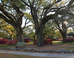 Franklin Park, Southport, NC. I walked my dog past these beautiful crooked oaks in this park daily.