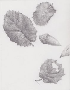 drawing of oak leaves and acorn