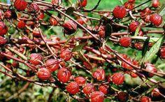 Yüksek tansiyona bitkisel çözüm tedavisi sunar, tansiyon düşüren bitkiler arasındadır.YÜKSEK MİKTARDA C VİTAMİNİ İÇERMEKTEDİR. - CNN Türk tarafından sağlanmıştır