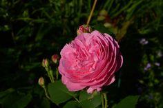 Louise Odier – ruusu | Vesan viherpiperryskuvat – puutarha kukkii