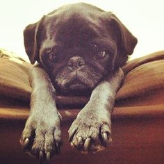 There Will Be No Mondays (when pugs rule the world)