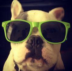 French Bulldog in Shades