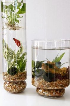 Learn how to create beautiful indoor planted water gardens in glass containers complete with beta fish from Tilly's Nest #watergardens
