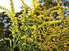 Goldenrod Honey - This would be great for allergy season!-  Tall Goldenrod is a fall favorite of the honeybee. Although it is most likely the bees are foraging on a variety of flowers, it is natural to assume the most prevalent flower at any given time is the strongest influence in the honey.