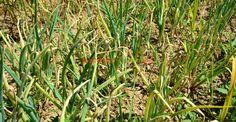 Mana cepei: prevenire și combatere. Sortimentul cu rezistență mai ridicată | Paradis Verde Paradis, Diy And Crafts, Mai, Herbs, Gardening, Decor, Agriculture, Plant, Dekoration