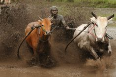 A jockey spurs the cows as they race in Pacu Jawi on Oct. in Batusangkar, Indonesia. This Pacu Jawi (traditional cow racing) is held ann. Soccer Predictions, Minangkabau, Pictures Of The Week, Travel Pictures, Amazing Photography, Real Life, Funny Memes, Hilarious, Funny Pictures