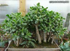 Jade Bonsai, Jade Tree, Crassula Ovata, Jade Plants, Bonsai Trees, Cacti, House Plants, Succulents, Tropical