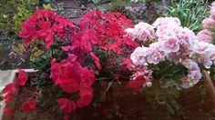 Biraz da baharda renk şölenine dönüşen yan yana duran muazzam manzarasıyla saksı çiçeklerime de yer vereyim istedim. İlk göze çarpan çeşitli canlı renkleriyle Sardunyalarım