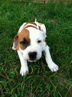 Boxer Mixed With Pitbull Puppies | Pet Lovers