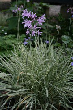 Society Garlic - really like this shrub for edges along the fence, plus it has pretty flowers.