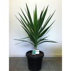 Find 300mm Yucca Tips at Bunnings Warehouse. Visit your local store for the widest range of garden products.