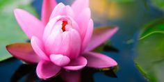 water lilies types of flowers wallpaper