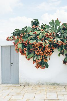 Capturing the simple beauty of everyday in southern Italy… Masseria Potenti, you had me at these green vases… This prickly pear tree makes me stop and glance at it for a while as it sta…