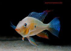 Acarichthys heckelii: threadfin acara
