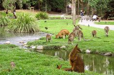 Kangaroos in Cairns. Independent & Escorted Tours of Austrailia & New Zealand. New Zealand Tours, New Zealand Travel, Cairns Australia, Australia Travel, Pacific Destinations, Small Group Tours, Wildlife Park, Work Travel