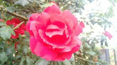 Rosa roja trepadora