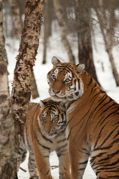 Amur Tigers, Mother & Young