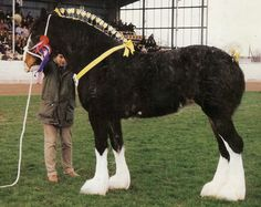 Heavy horses on pinterest draft horses shire horse and clydesdale