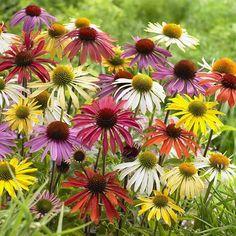 Beaucoup de jardiniers sont déçus des nouvelles échinacées aux couleurs multiples (rouge, orange, jaune, vert, etc.) et aux fleurs diversement doubles qui inondent le marché horticole depuis quelqu…