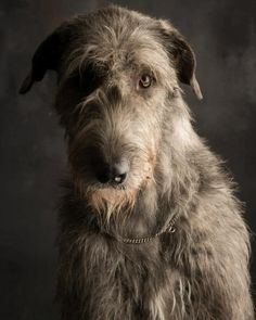 Irish Wolf Hound http://www.paulcroes.be