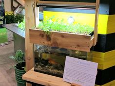 A vegequarium! I want to try this! Fish in the tank feed the plants on top. The plants clean the water and it drains back into the tank.