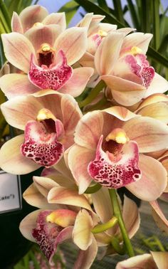 Notes - new cascading cymbidiums orchids