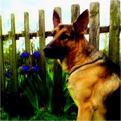Blitz ~ THE German Shepherd 20 months